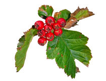 Berries of hawthorn 9 Royalty Free Stock Photos