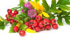 Berries of hawthorn closeup. Berries of hawthorn, clover and flowers of Jerusalem artichoke, closeup royalty free stock images