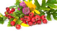 Berries of hawthorn closeup. Berries of hawthorn, clover and flowers of Jerusalem artichoke, closeup royalty free stock image