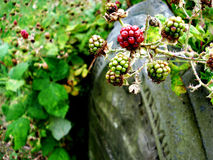 Berries on a Headstone Stock Photos