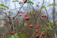 The Berries hips Royalty Free Stock Photography