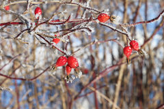 Berries in hoarfrost Royalty Free Stock Photography