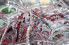 Berries in hoarfrost Royalty Free Stock Photo