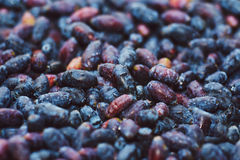 Berries of a honeysuckle Royalty Free Stock Photo
