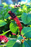 Berries of indian poke. In garden Stock Images