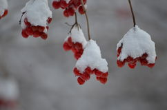 Berries ion the cold snow Stock Photography