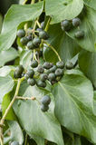 Berries of ivy plant Stock Photography