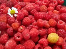 The berries are juicy raspberry Stock Photography