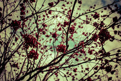 Berries. Late fall. Bush without leaves. There were some berries Royalty Free Stock Photo