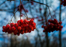 Berries. Late fall. Bush without leaves. There were some berries Royalty Free Stock Photography