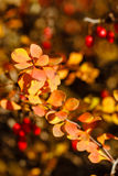 Berries and leaves. In autumn forest close-up shot Royalty Free Stock Photos