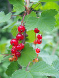 Berries and leaves of red currant Stock Images
