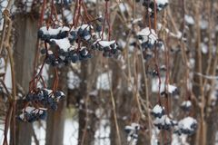 the berries of the maiden grape the under the snow, frozen grape vine outdoors, winter background stock photo