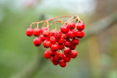 Mountain ash wild tree. Berries of the mountain ash growing in the autumn wood Stock Photos