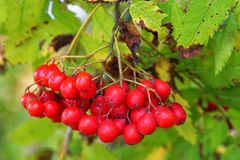 Berries of mountain ash Stock Photography