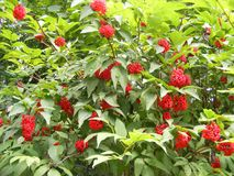 Red berries on a mountain ash or rowan tree. Berries on a mountain ash or rowan tree Royalty Free Stock Photos