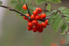 Berries of a mountain ash Royalty Free Stock Images
