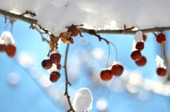 Berries in the NH snow Royalty Free Stock Image