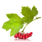 Berries Of Red Viburnum With Leaves Royalty Free Stock Photo
