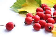 Berries Of The Hawthorn On White Background Stock Photography