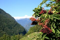 Berries Of The Red Elderberry, Italian Dolomites Stock Photography