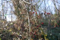 Berries in Oregon Stock Photo
