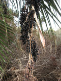 Berries on palm tree. Beautiful black fruits of palm tree Royalty Free Stock Photo