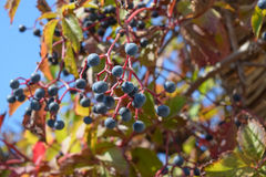 Berries are a Parthenocissus. Poisonous plant of the family vineyards Royalty Free Stock Images