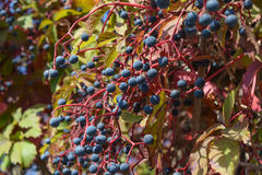 Berries are a Parthenocissus Royalty Free Stock Image