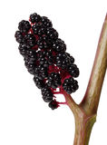 Berries of Phytolacca. Close-up pokeberry isolated on the white background Royalty Free Stock Photos