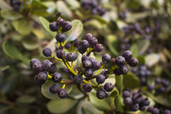 Berries plant. Wild life, garden house plant, green life, berries violet, lot of berries, house garden royalty free stock image