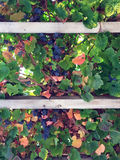 Berries and Plants on a Trellis Stock Photos