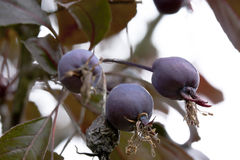 Berries plums hanging on a branch. Purple berries plums hanging on a branch Royalty Free Stock Photo