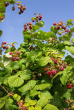 Berries of raspberries on the background of blue sky Stock Photo