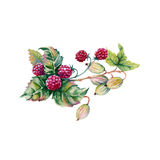 Berries of raspberries and gooseberries in a bouquet. Isolated on white background. Watercolor illustration Royalty Free Stock Image