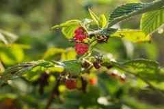 Berries raspberries hang on a bush, ripe berries Royalty Free Stock Image