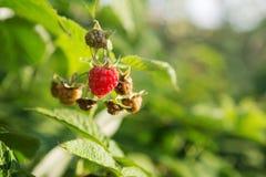 Berries raspberries hang on a bush, ripe berries Royalty Free Stock Photo