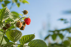 Berries raspberries hang on a bush, ripe berries Stock Image
