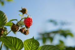 Berries raspberries hang on a bush, ripe berries Royalty Free Stock Photography