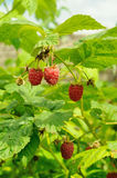Berries of raspberry on the bush Stock Photos
