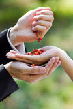 Berries of red ash berry in hand Stock Images