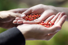 Berries of red ash berry in hand Stock Photos