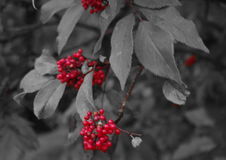 Berries. The red color of berries stock photography