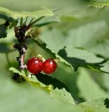 Berries of red currant Stock Photos