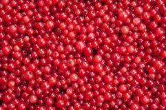 Berries of a red currant Royalty Free Stock Photos