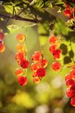 The berries of a red currant Stock Image
