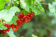 Berries of red currant. Fresh berries of red currant Stock Photos