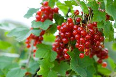 Berries of red currant Royalty Free Stock Images