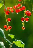 Berries of a red currant. Royalty Free Stock Photos