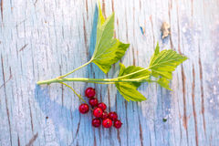 Berries of red currant on a blue wooden background. Royalty Free Stock Photo